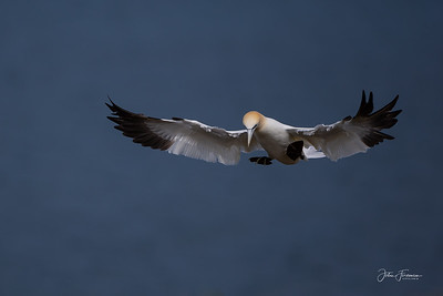 Gannet, Bempton