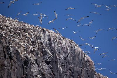 Gannets, Bass Rock