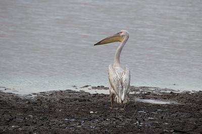 Great White Pelican, Selous
