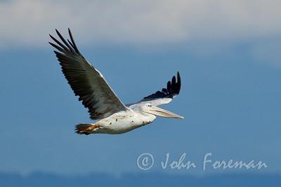 Great White Pelican, Naivasha