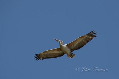 Pelican, Wilpattu