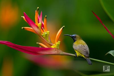 Olive-backed Sunbird, Singapore