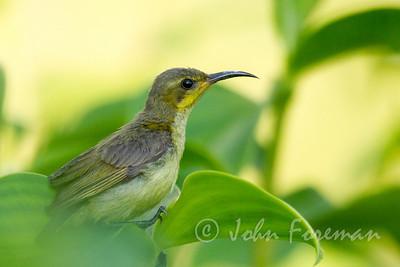 Olive backed Sunbird, Singapore