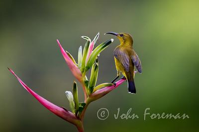 Female Olive-backed sunbird, Singapore