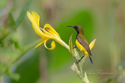 Male Olive backed Sunbird, Singapore