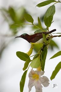 Purple-rumped Sunbird, Kerala