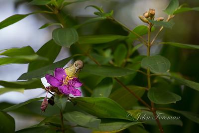 Purple-rumped Sunbird, Hikkaduwa