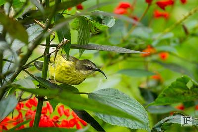 Female Variable Sunbird, Naivasha