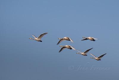 Whooper Swans, Suffolk