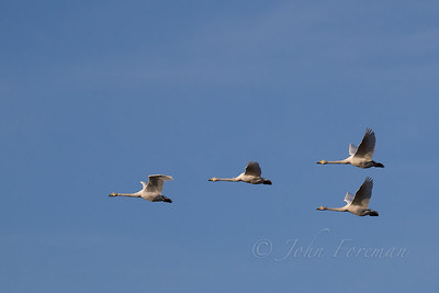 Whooper Swans, Suffolk