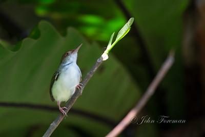 Common Tailorbird, Hikkaduwa