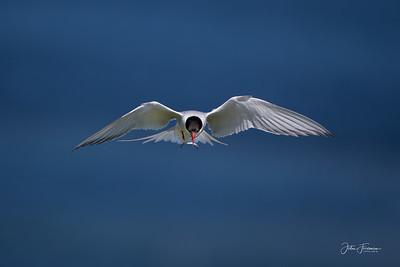 Arctic Tern, Farne Islands