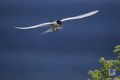 Arctic Tern, Farne Islands