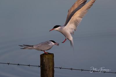 Common Terns, Keyhaven