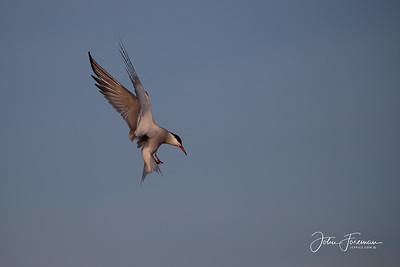 Common Tern, Keyhaven