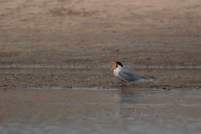 River Tern, Chambal