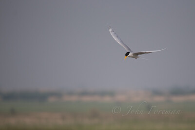 River tern, Rajasthan