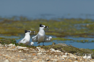 Sandwich Terns, Brownsea Island