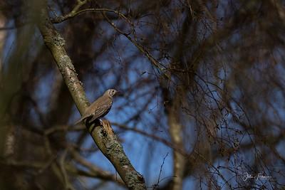 Mistle Thrush, Studland