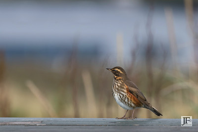 Redwing, Iceland