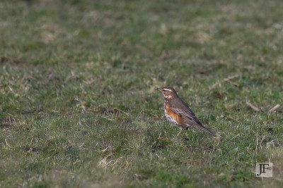 Redwing, Oxfordshire