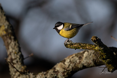 Great Tit, Stour Valley