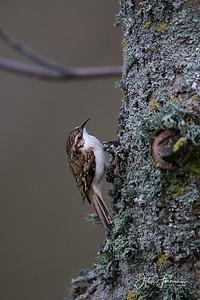 Treecreeper, Blandford