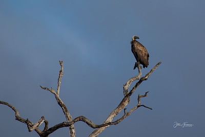 African White-backed Vulture, Selous