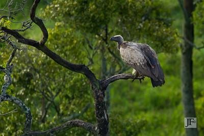 White-backed Vulture, Masai Mara