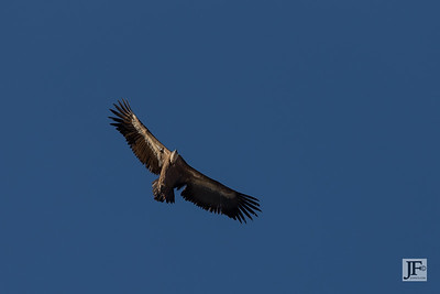 Griffon Vulture, Caminito del Rey