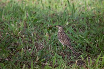 Grassland Pipit, Tanzania