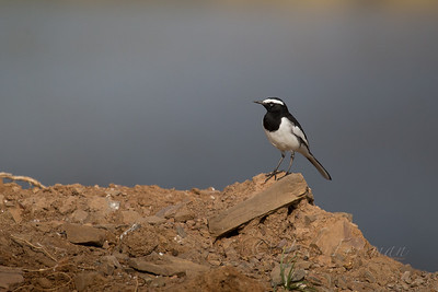 White-browed Wagtail, Ranthambore