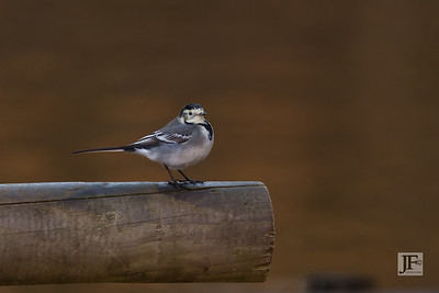 Pied Wagtail, New Forest