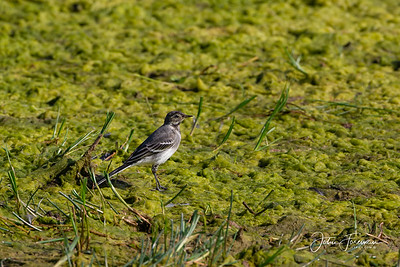 Pied Wagtail, Thetford
