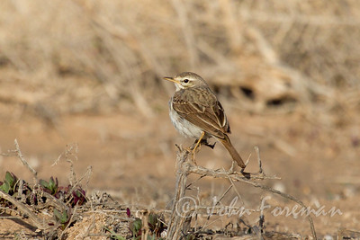 Tawny Pipit, Lanzarote