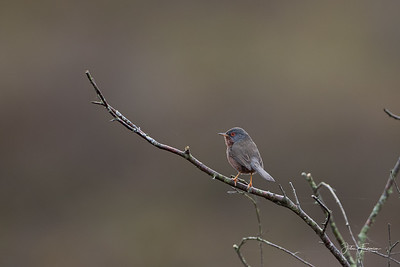 Dartford Warbler, Dorset