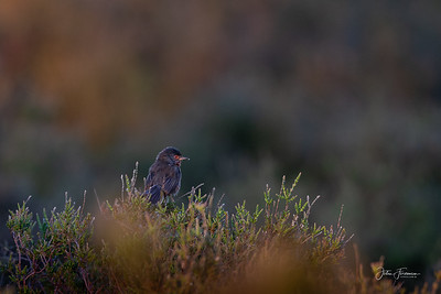 Dartford Warbler, Dunwich Heath