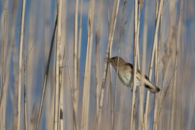 Marsh Warbler, Flatford