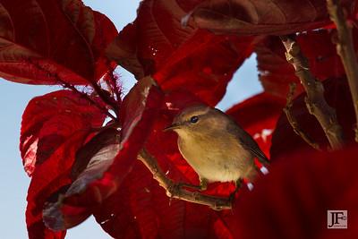 Warbler, Gran Canaria