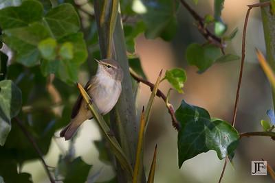 Warbler, Morocco