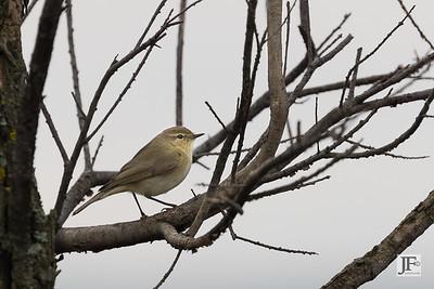 Warbler, Laguna De Fuente De Piedra