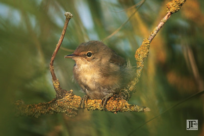 Reed Warbler, Suffolk