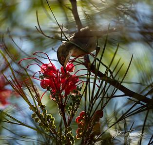 Female Sardinian Warbler, Gran Canaria