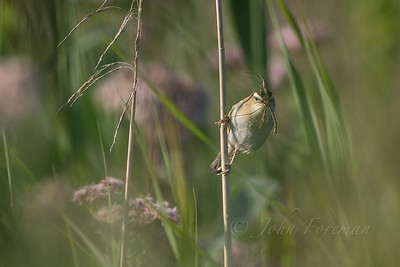 Sedge Warbler, Chippenham
