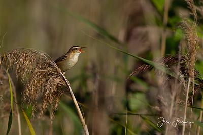 Sedge Warbler, Suffolk