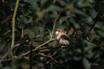 Juvenile Whitethroat, Suffolk
