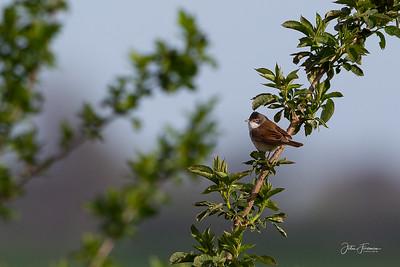 Lesser Whitethroat?, Suffolk