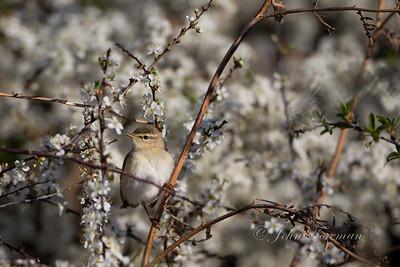 Warbler, Suffolk