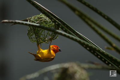 Golden Palm Weaver, Watamu