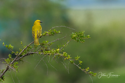 Golden Weaver, Masai Mara